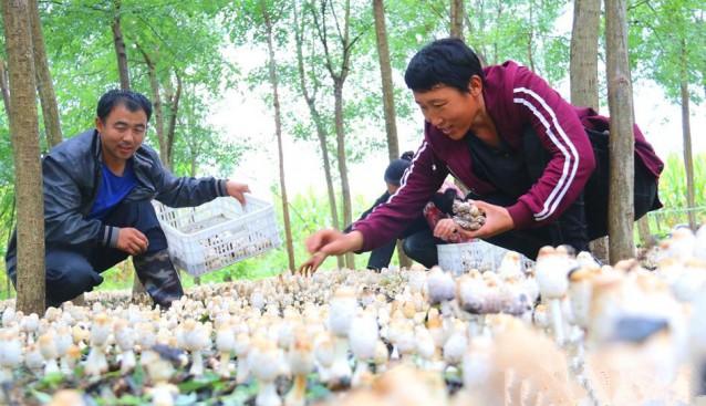 河北省南皮县:林下鸡腿菇铺就致富增收路