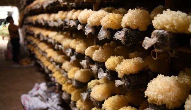 河北省广平县:食用菌产业助增收 带动农户致富